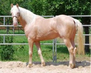 Lusitano Easy Blue des Plots