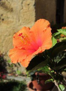 Argile-dor-Herbstfarben-Hibiskus