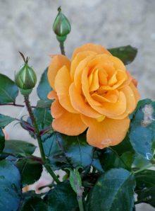 Argile-dor-Herbstfarben-Rose-2