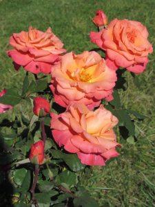 Argile-dor-Herbstfarben-Rosen