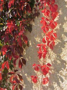 Argile-dor-Herbstfarben-Wilder-Wein